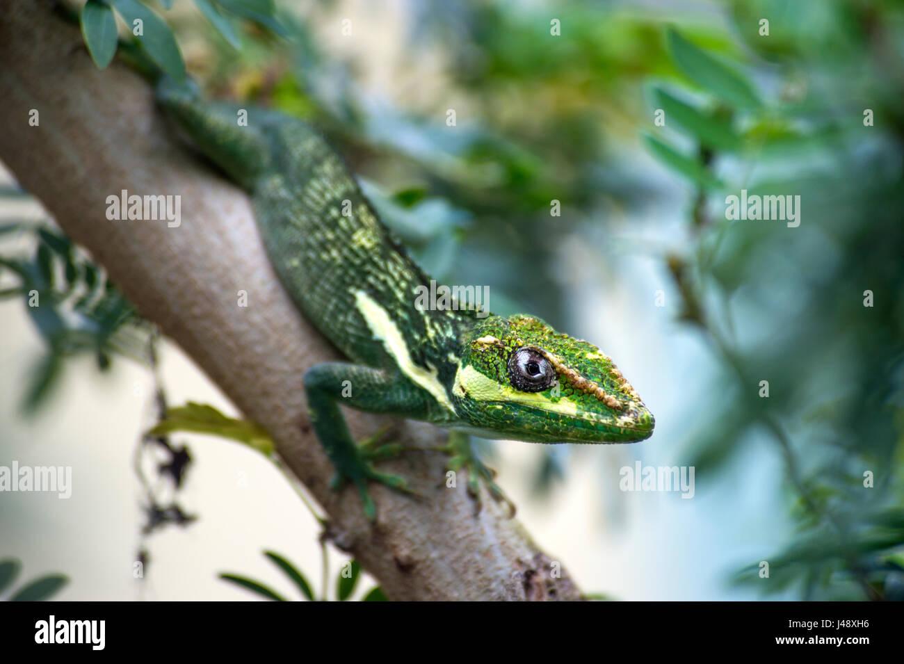 Reptile Knight Anole Lizard - Stock Image