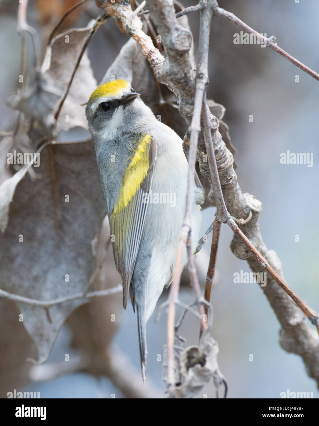 Rare Golden-winged Warbler poses close up at Magee Marsh - Stock Image