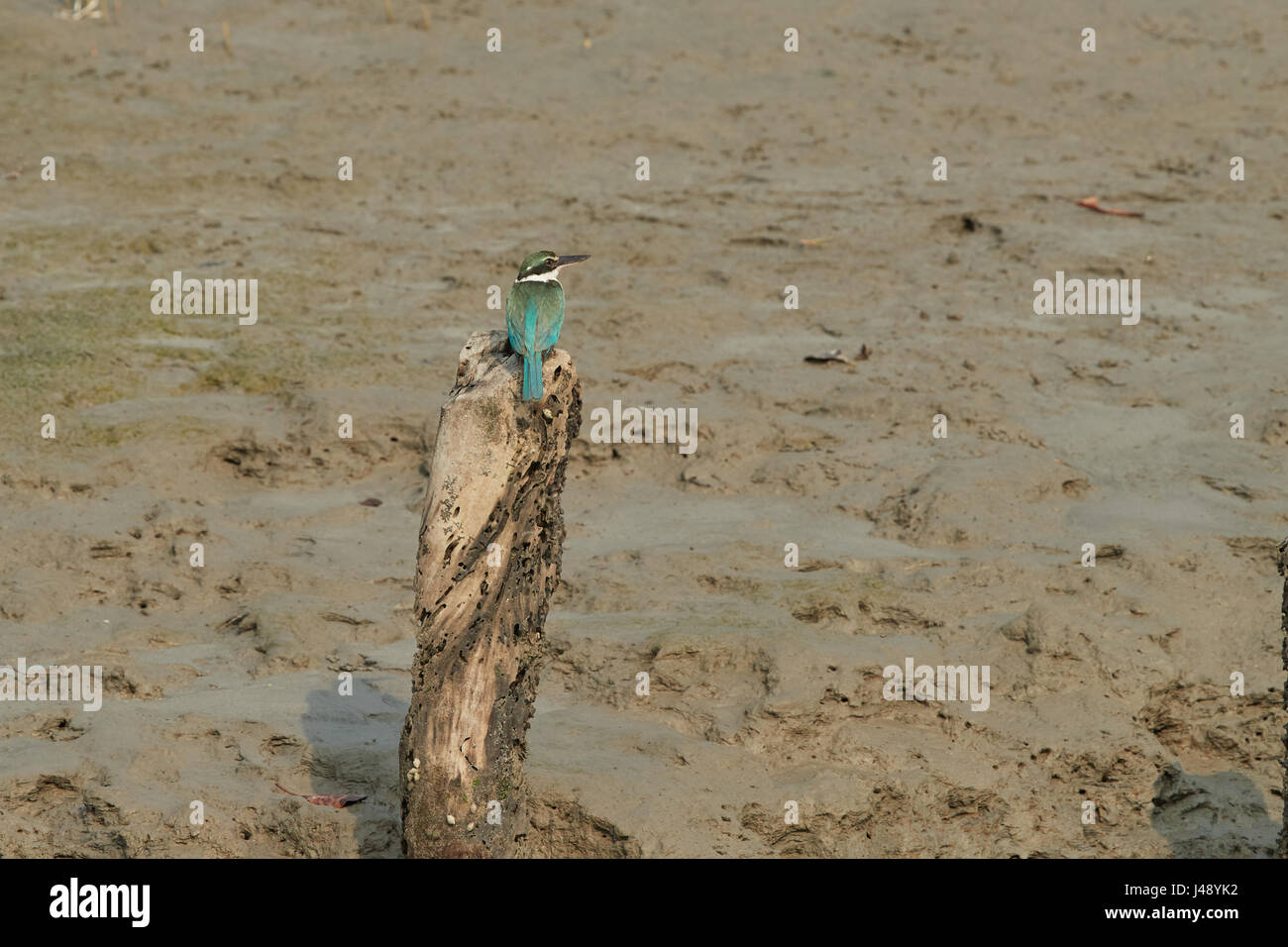 Rufous-collared Kingfisher (Actenoides concretus), standing on a branch, back profile, shown a white spotted on Stock Photo