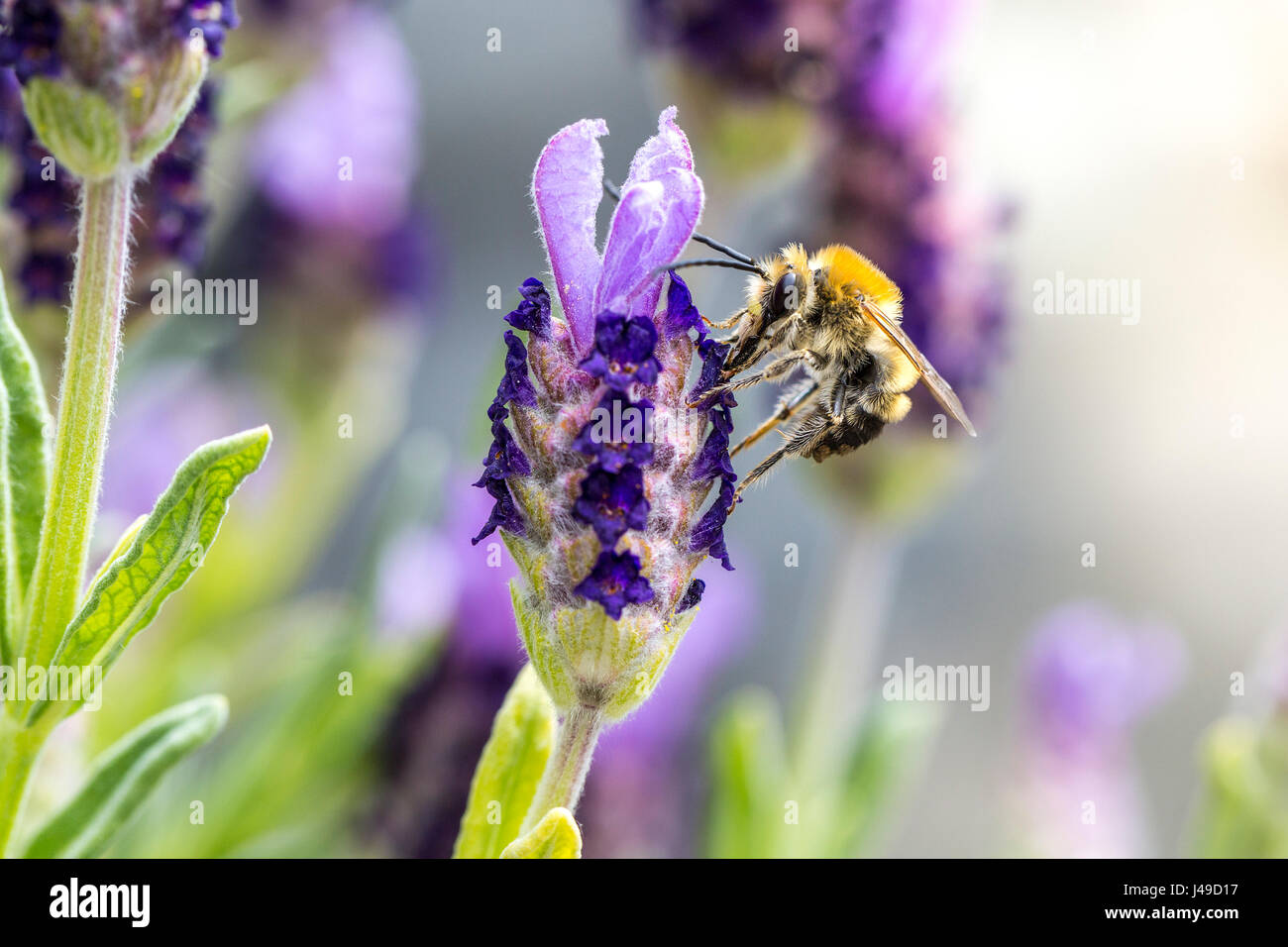 Macro of a bee pollinating lavender flowers - Stock Image