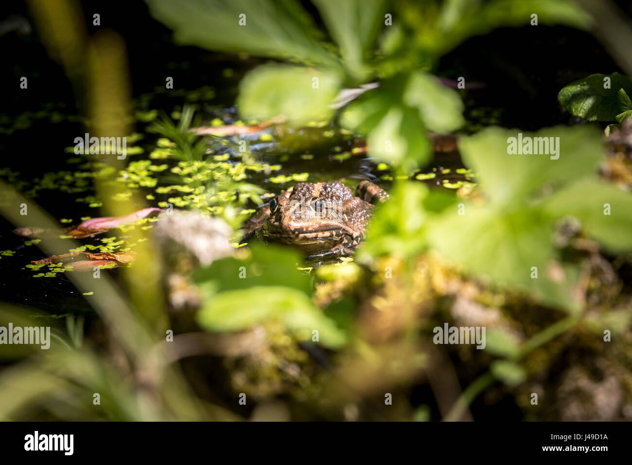Common frog sunbathing in a pond. Stock Photo