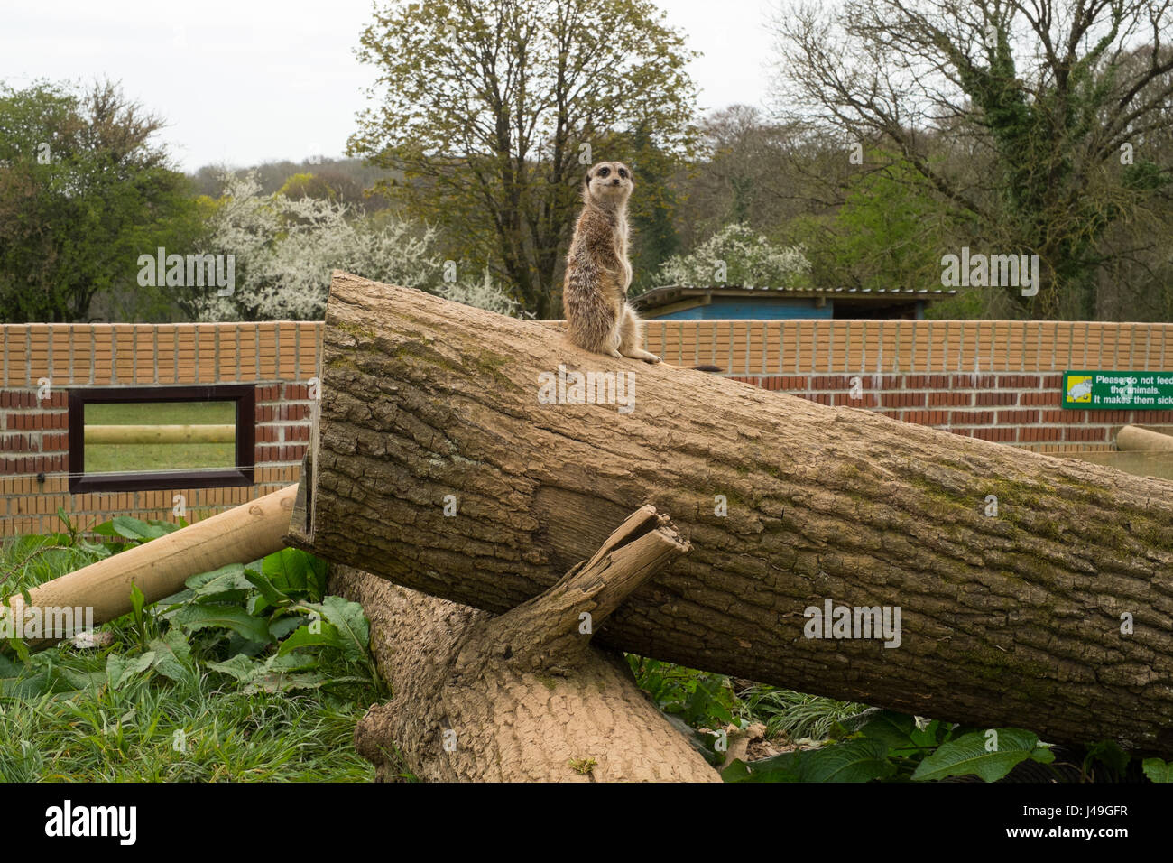 Meerkat at Woodlands Family Theme Park, Totnes, Devon , England, United Kingdom - Stock Image