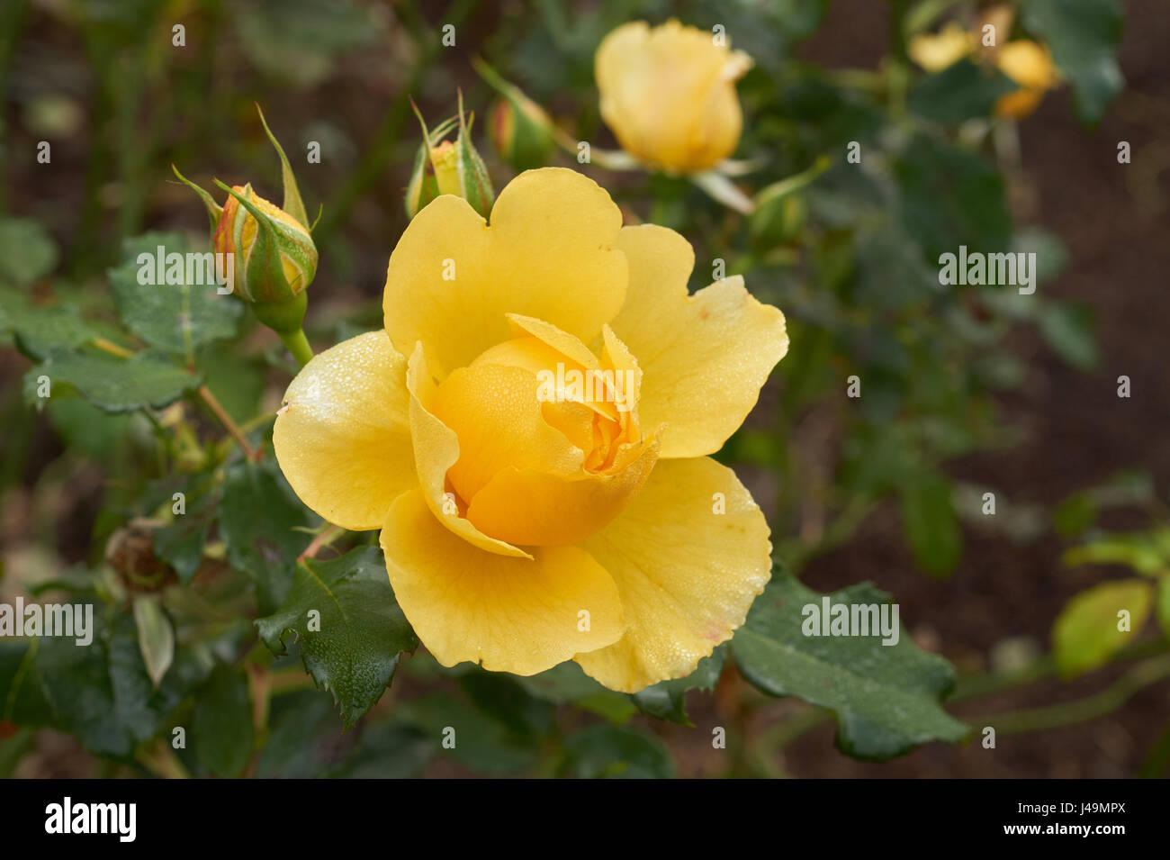 image of beautiful yellow rose close up - Stock Image