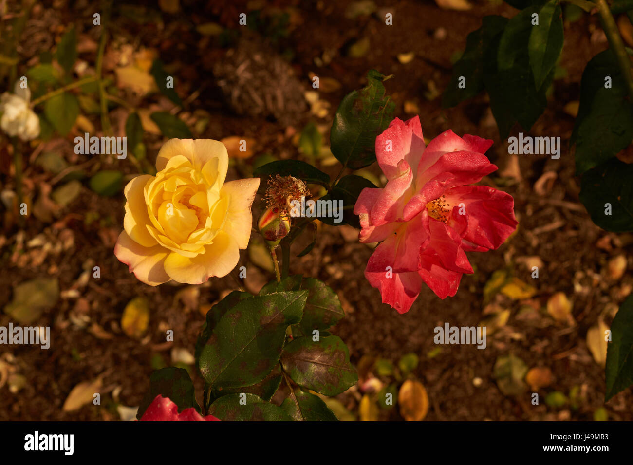 image of yellow and red rose on the same plant - Stock Image