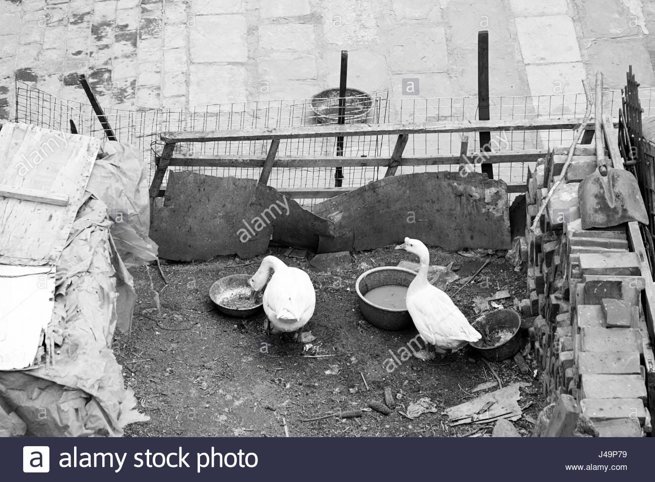 goose poultry sty ranch chinese - Stock Image