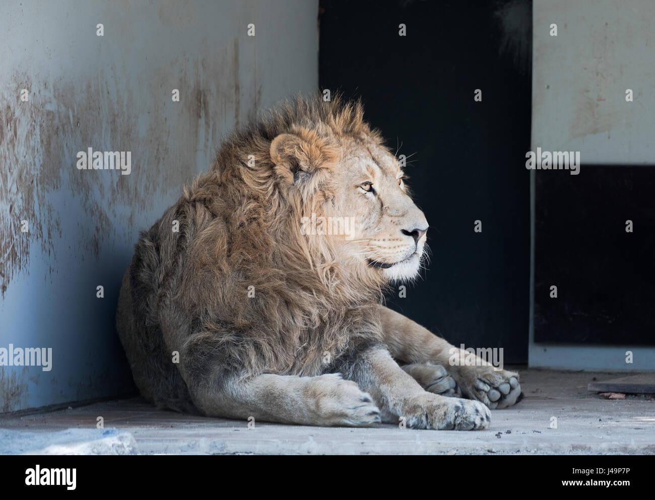 Asiatic Lion from the Wilhelma Zoo in Stuttgart Germany - Stock Image