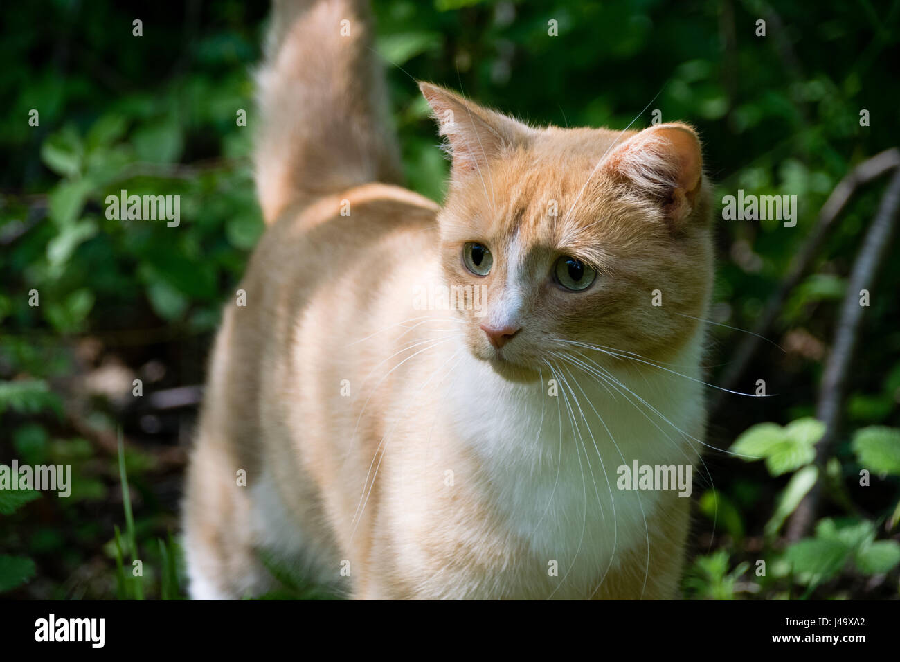 Domestic ginger cat exploring an over grown garden - Stock Image