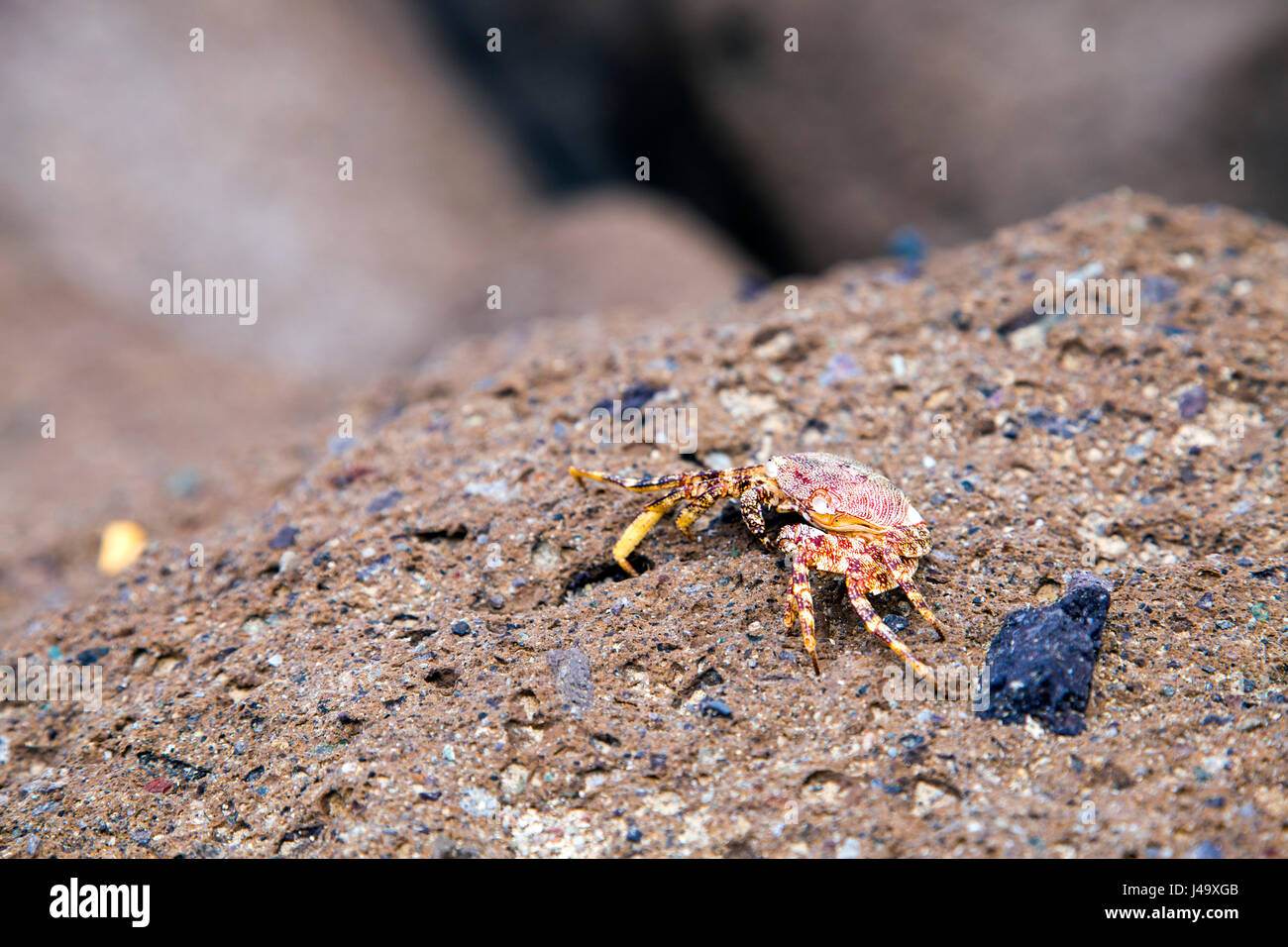 A brachyura crab sitting on a rock in Tenerife, Spain - Stock Image