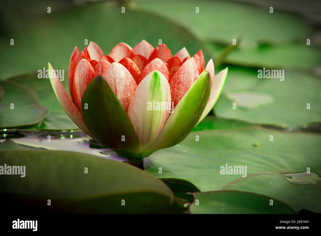 Lotus flower is complimented by the rich colors of the deep blue lotus flower is complimented by the rich colors of the deep blue water surface izmirmasajfo