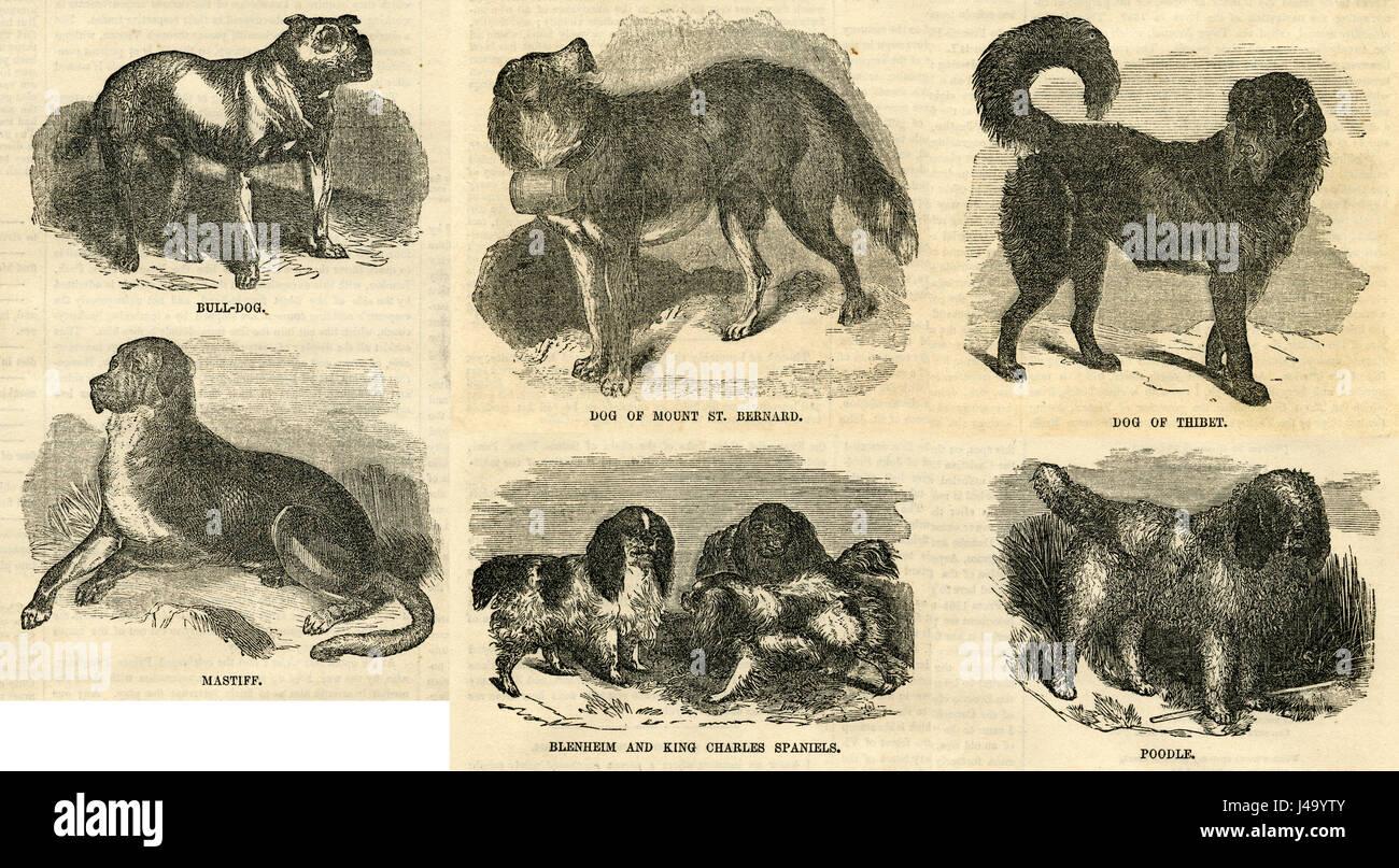 Antique 1854 engraving, Bull-Dog, Dog of Mount St. Bernard, Dog of Thibet, Mastiff, Blenheim and King Charles Spaniels, - Stock Image
