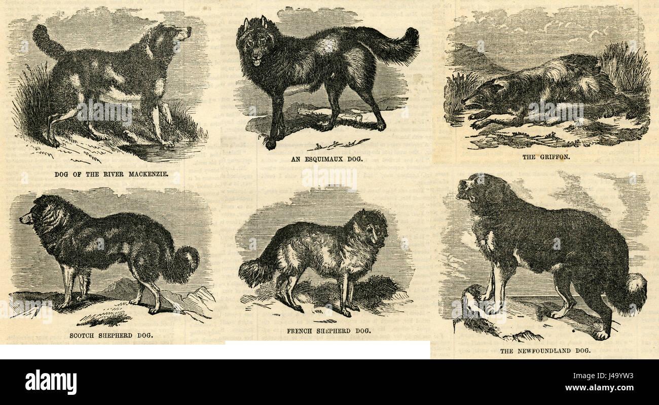 Antique 1854 engraving, Dog of the River MacKenzie, An Esquimaux Dog, The Griffon, Scotch Shepherd Dog, French Shepherd - Stock Image