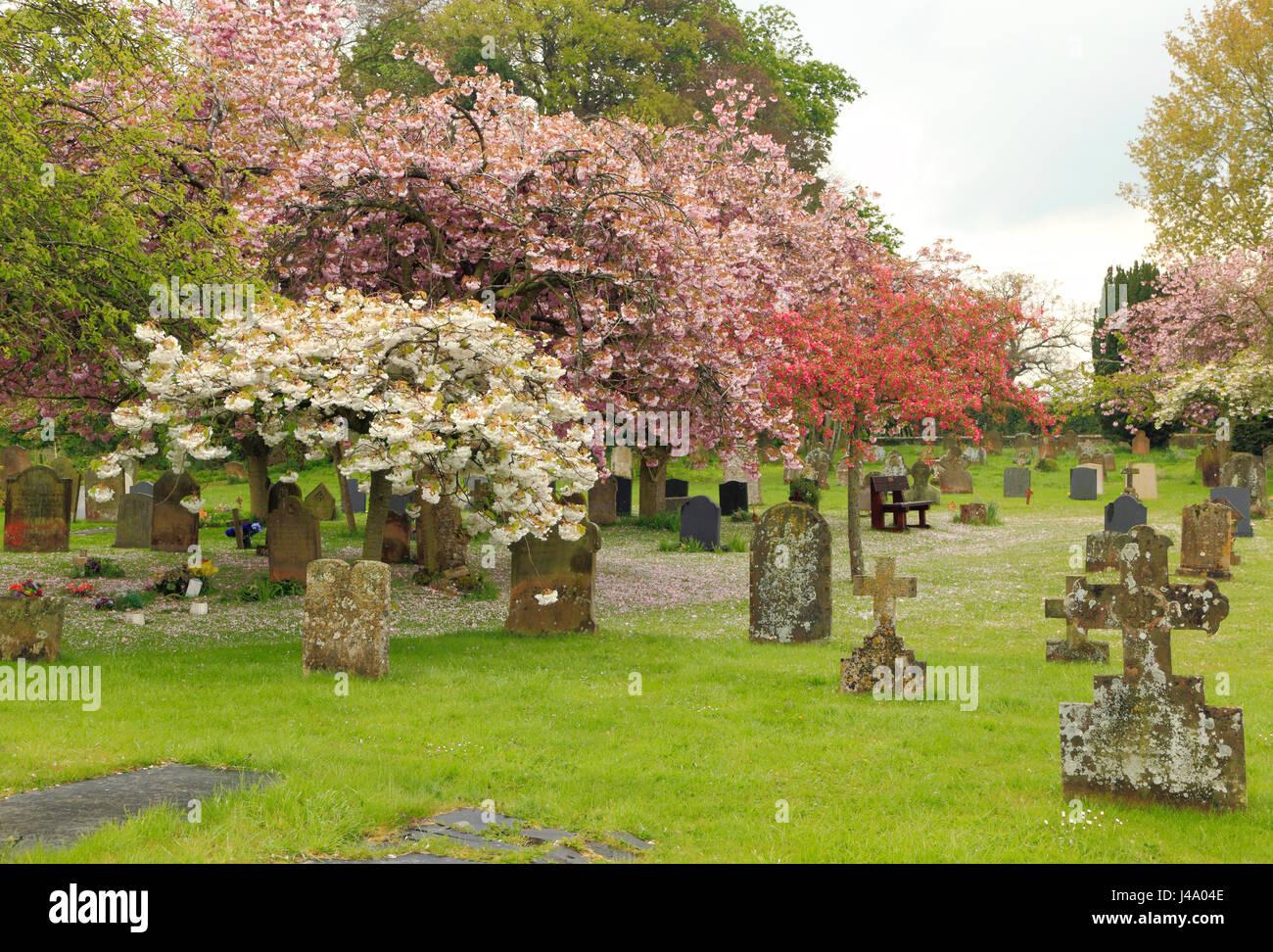 Peaceful village churchyard, gravestones, cherry blossom, Sculthorpe Norfolk UK - Stock Image
