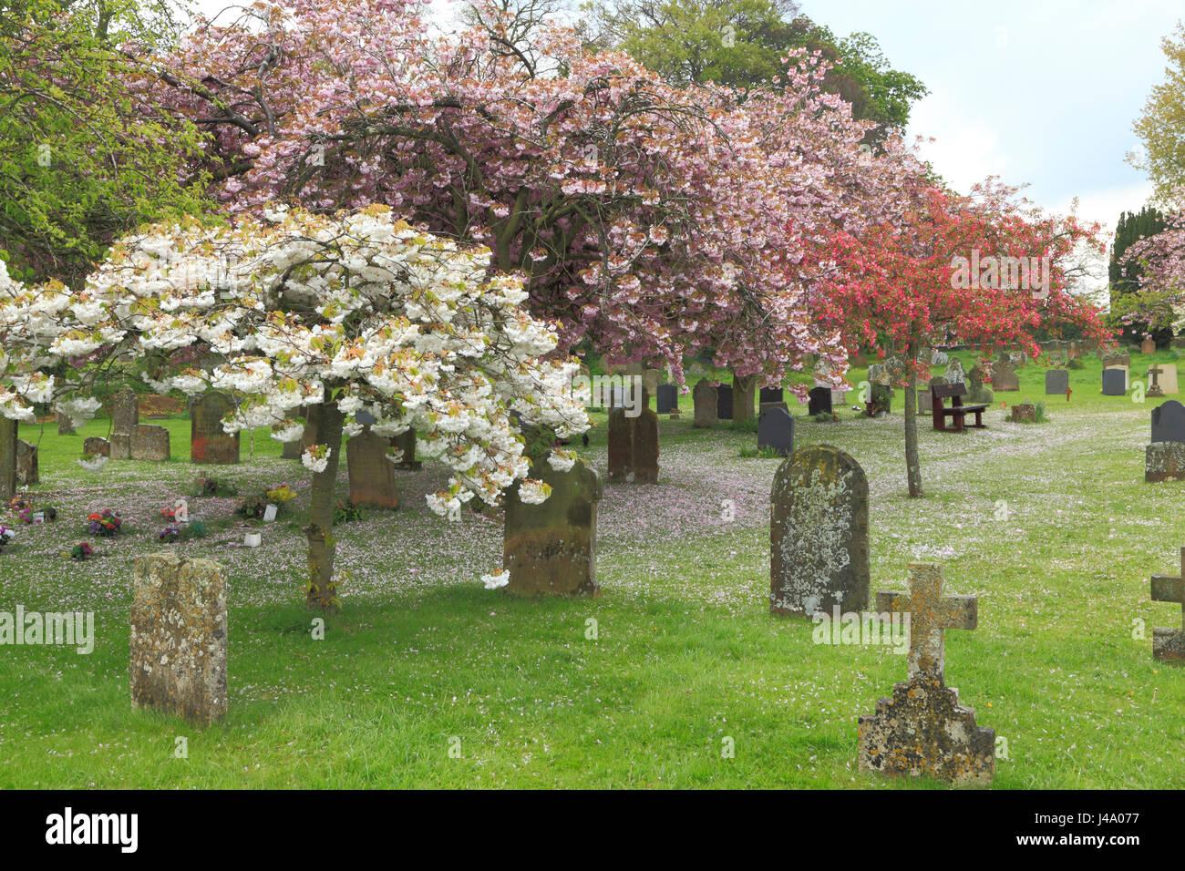 Peaceful village churchyard, gravestones, cherry blossom, Sculthorpe Norfolk England UK - Stock Image