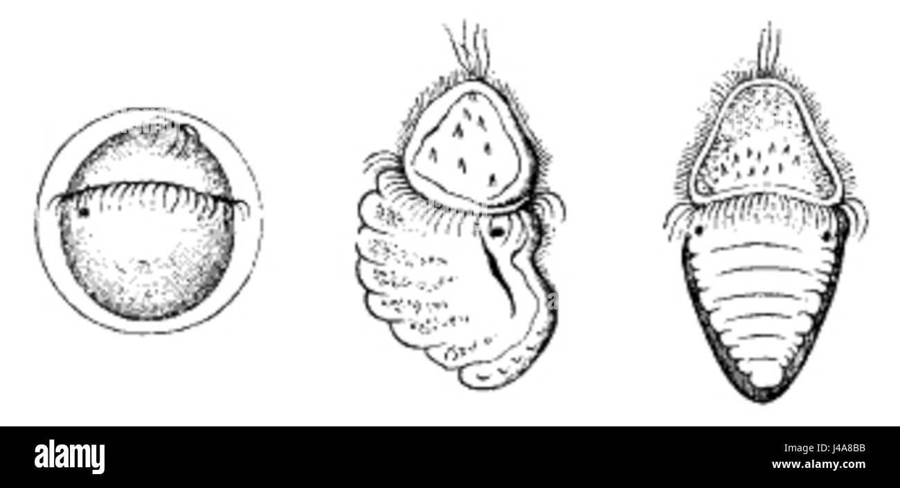 Polyplacophora ontogeny Stock Photo