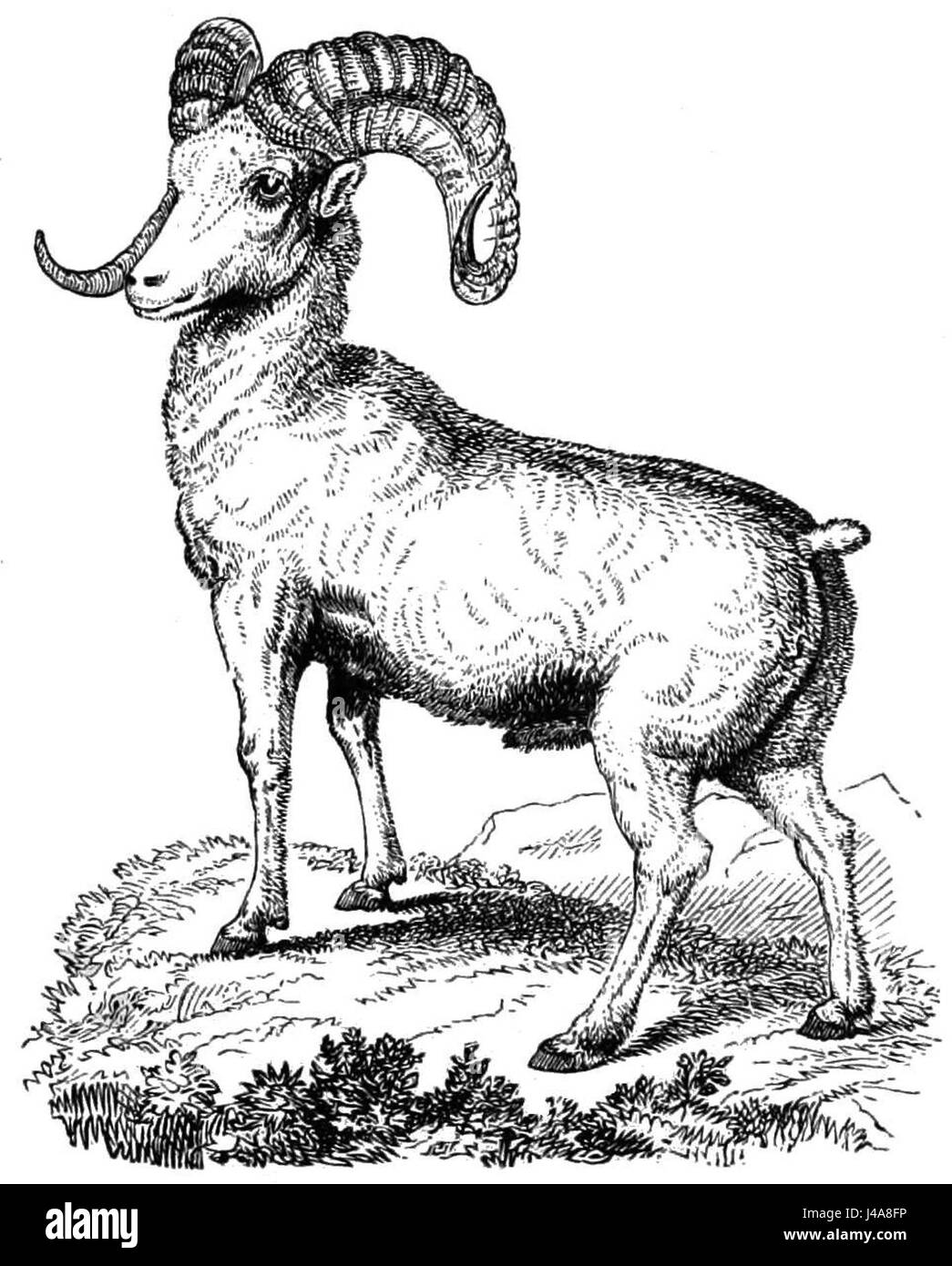 PSM V10 D707 The mountain sheep - Stock Image