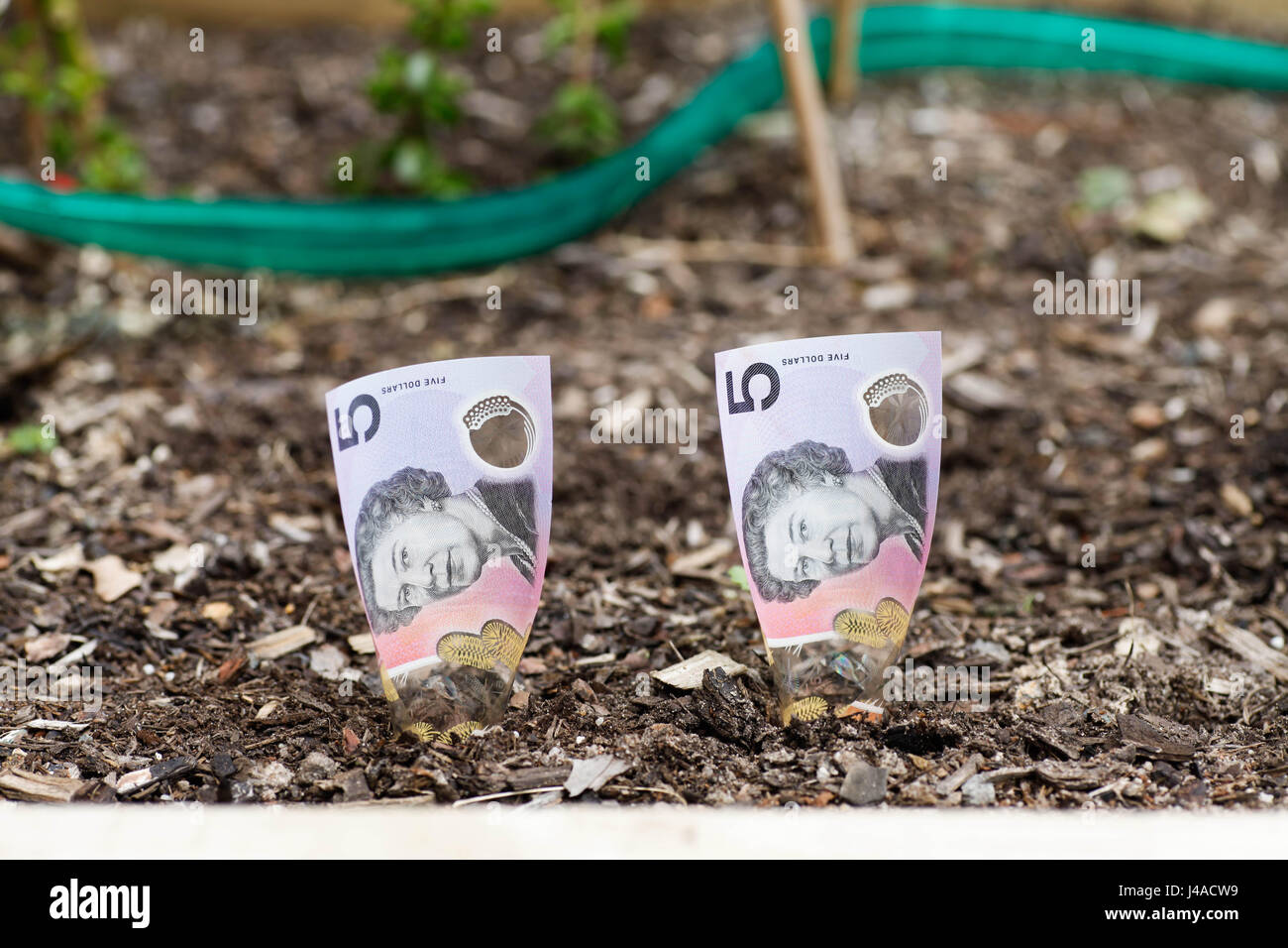 Growing Australian $5 in garden bed - Stock Image