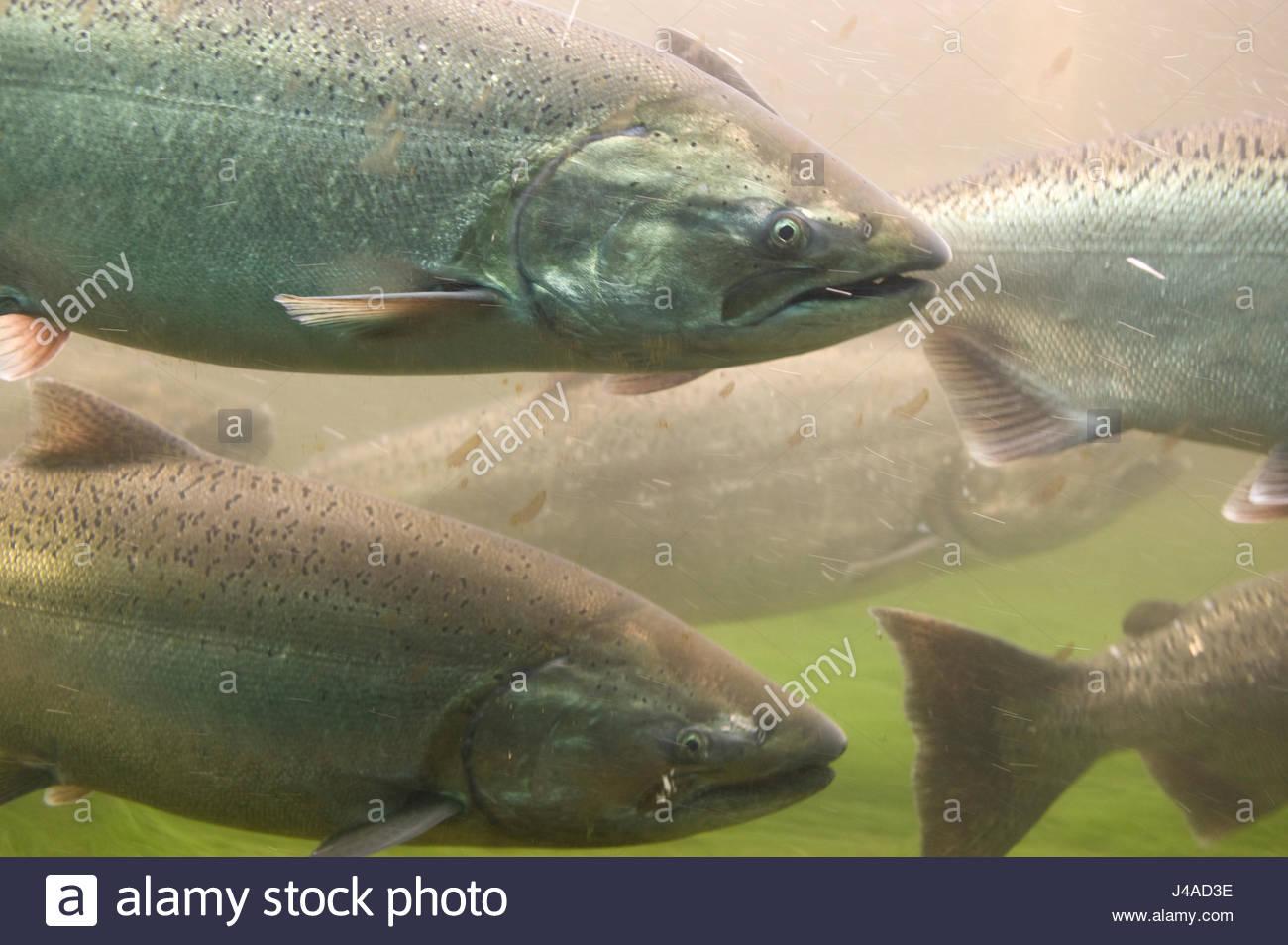 Salmon swim upstream via the fish ladder at the Hiram M. Chittenden Locks, Lake Washington Ship Canal, Seattle, - Stock Image