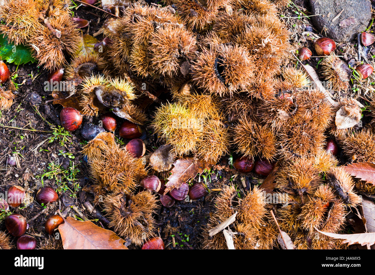 Leaves and chestnut hedgehog fallen on the ground of the autumn chestnut tree. The chestnut forest of El Tiemblo - Stock Image