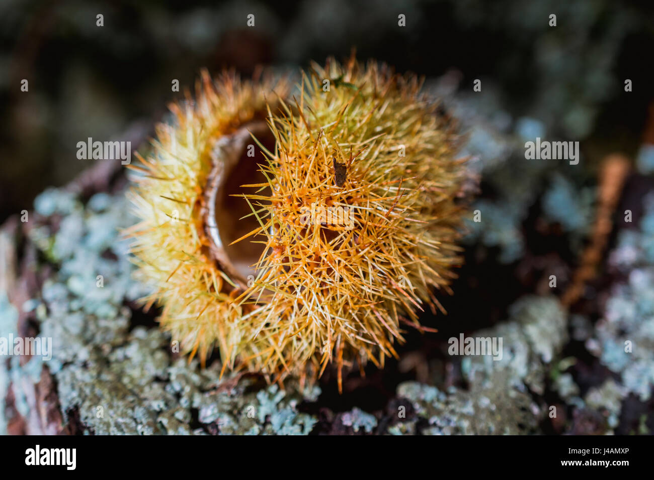 Sweet chestnut hedgehog. El Tiemblo, Ávila, Castilla y León, Spain, Europe - Stock Image