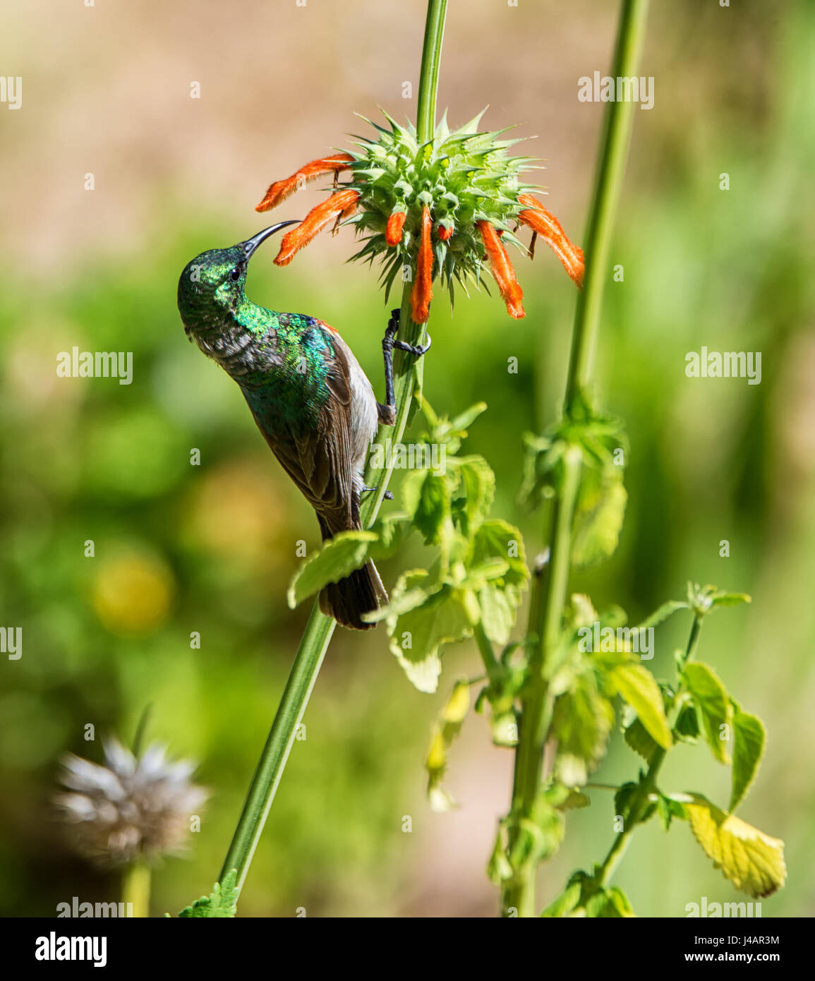 A Double-collared Sunbird perched on a WIld Dagga plant in Southern African savanna - Stock Image