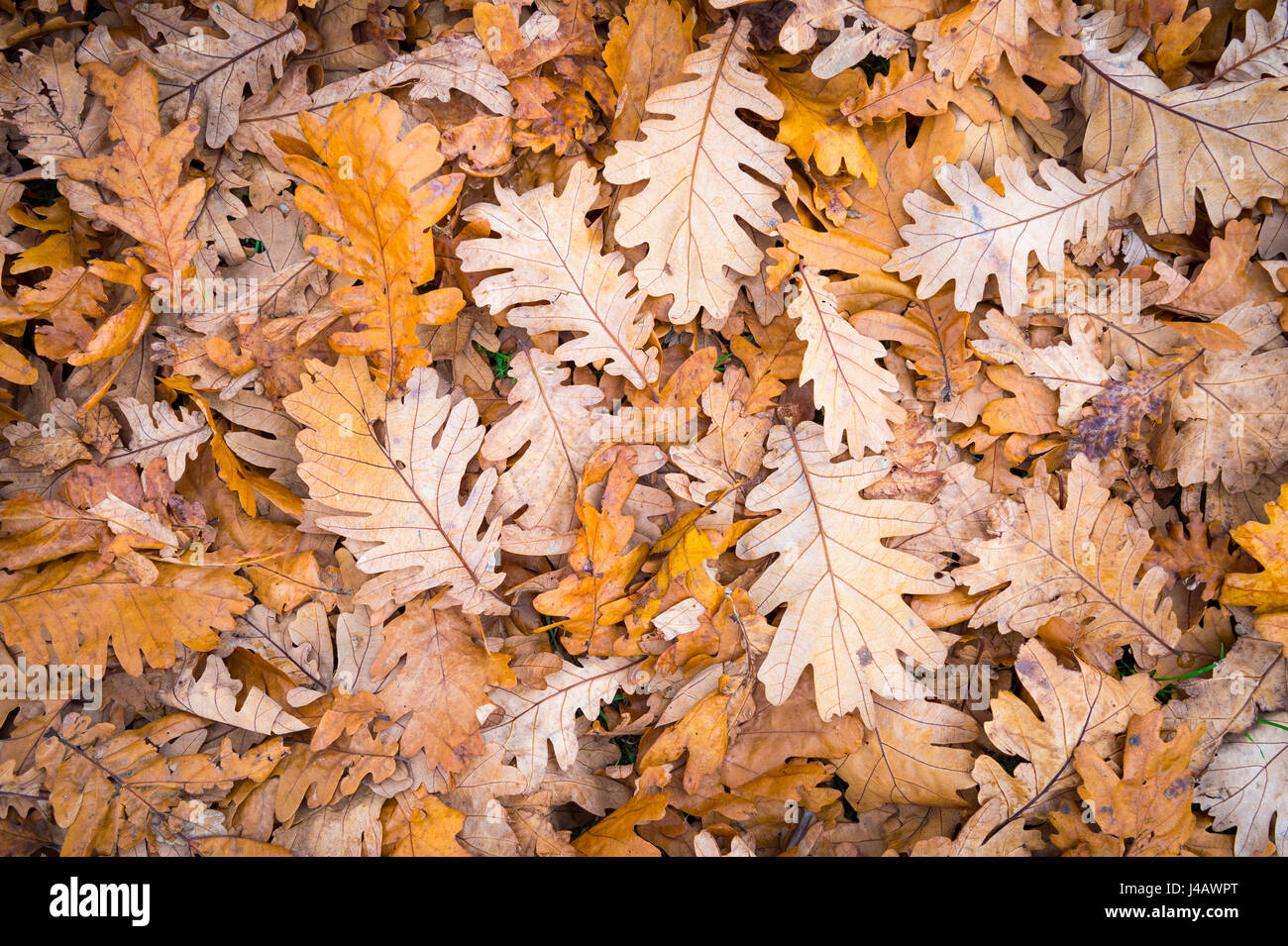 Fall foliage background in muted brown and orange tones in a pile of fallen leaves from a forest of oak trees - Stock Image