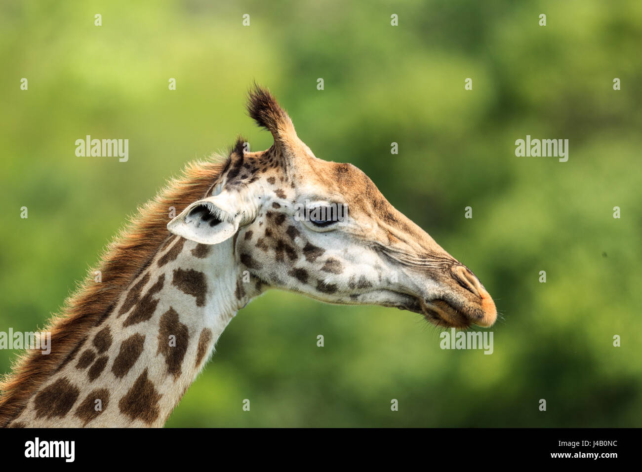 Masai Giraffe up close - Stock Image