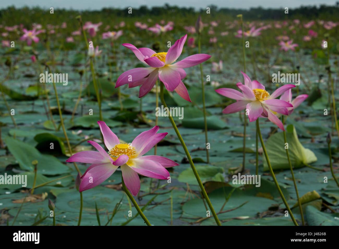 Podmo Phul Stock Photos & Podmo Phul Stock Images - Alamy