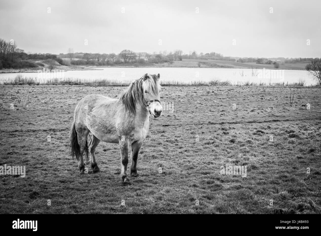 Small horse on a field by a lake in black and white colors in a rural environment - Stock Image