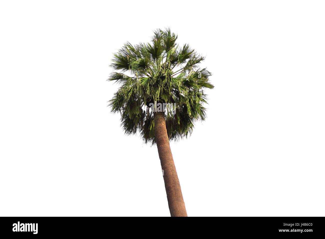 Fan palm tree on the white background - Stock Image