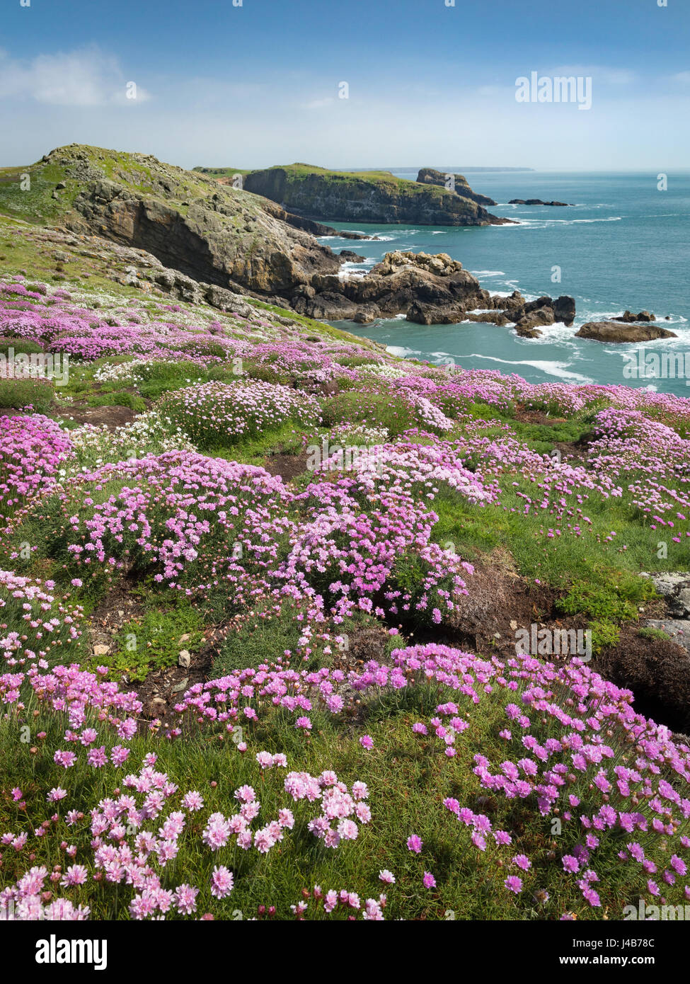 Swathes of Thrift carpet the Manx Shearwater burrows at Skomer Head on Skomer Island, Pembrokeshire, Wales, UK Stock Photo