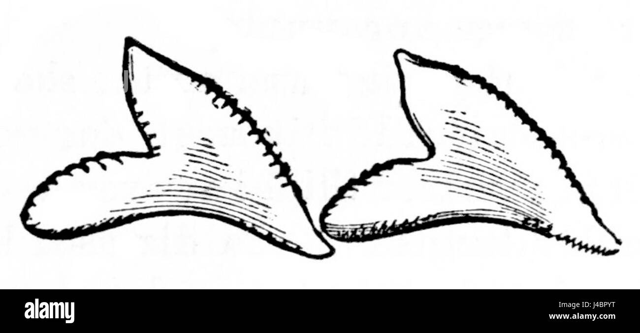 Shark Teeth Drawing Stock Photos & Shark Teeth Drawing Stock Images ...
