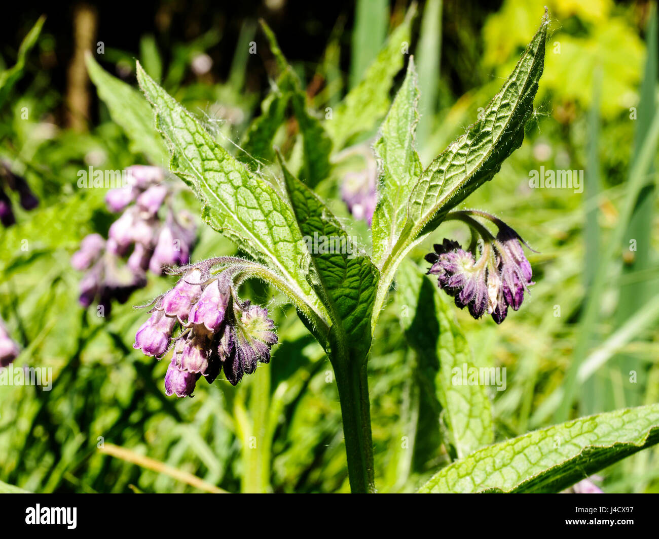 Common Comfrey is a hairy plant of damp ground and is often found beside rivers, in fens and ditches. - Stock Image