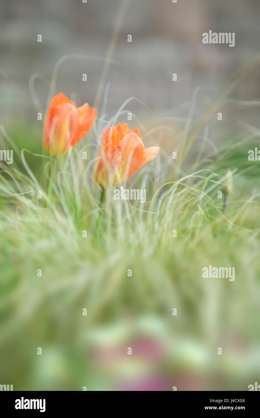 Orange tulips and long decorative grass. - Stock Image