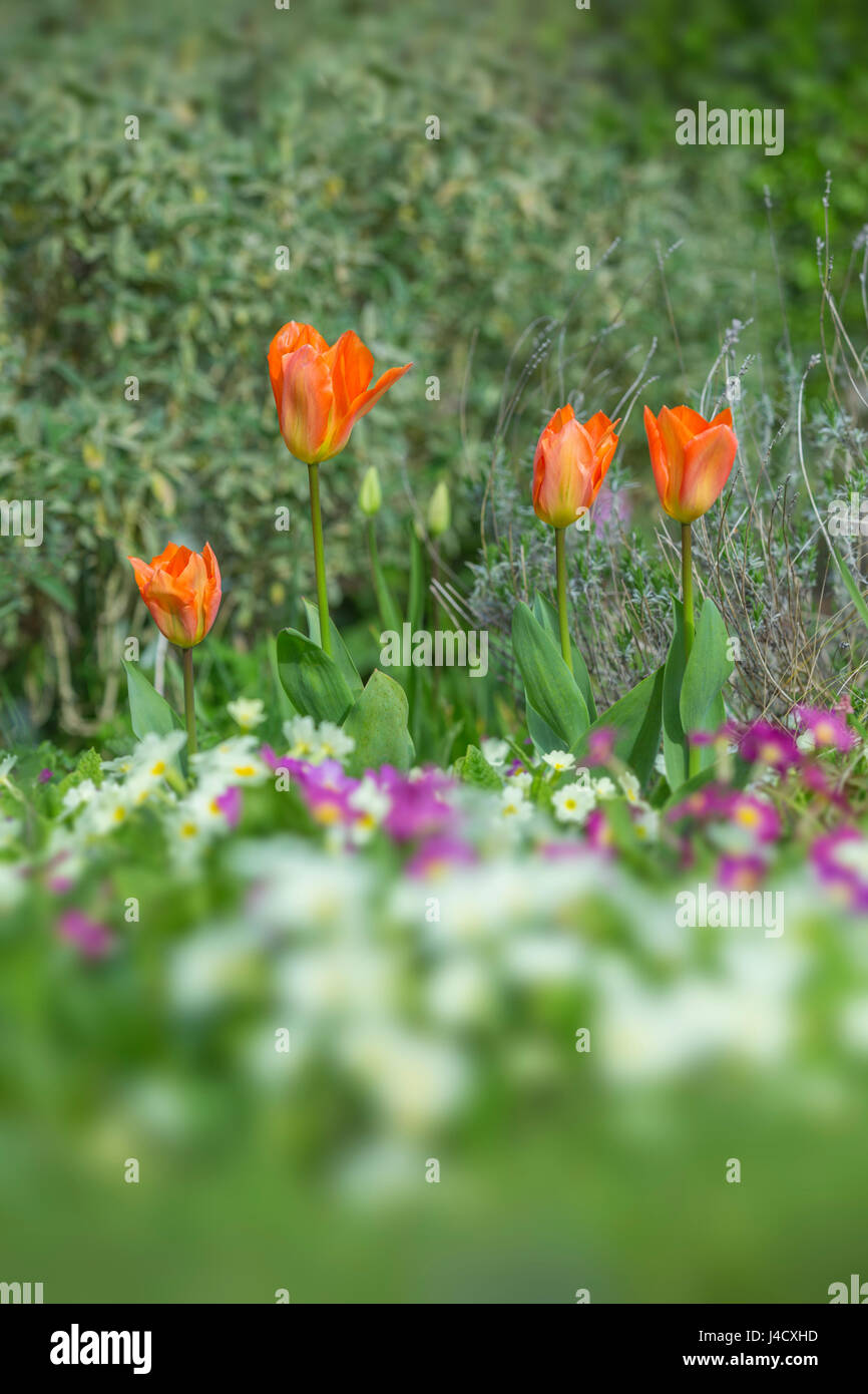 Orange Tulips and primroses growing together in a flower border. - Stock Image