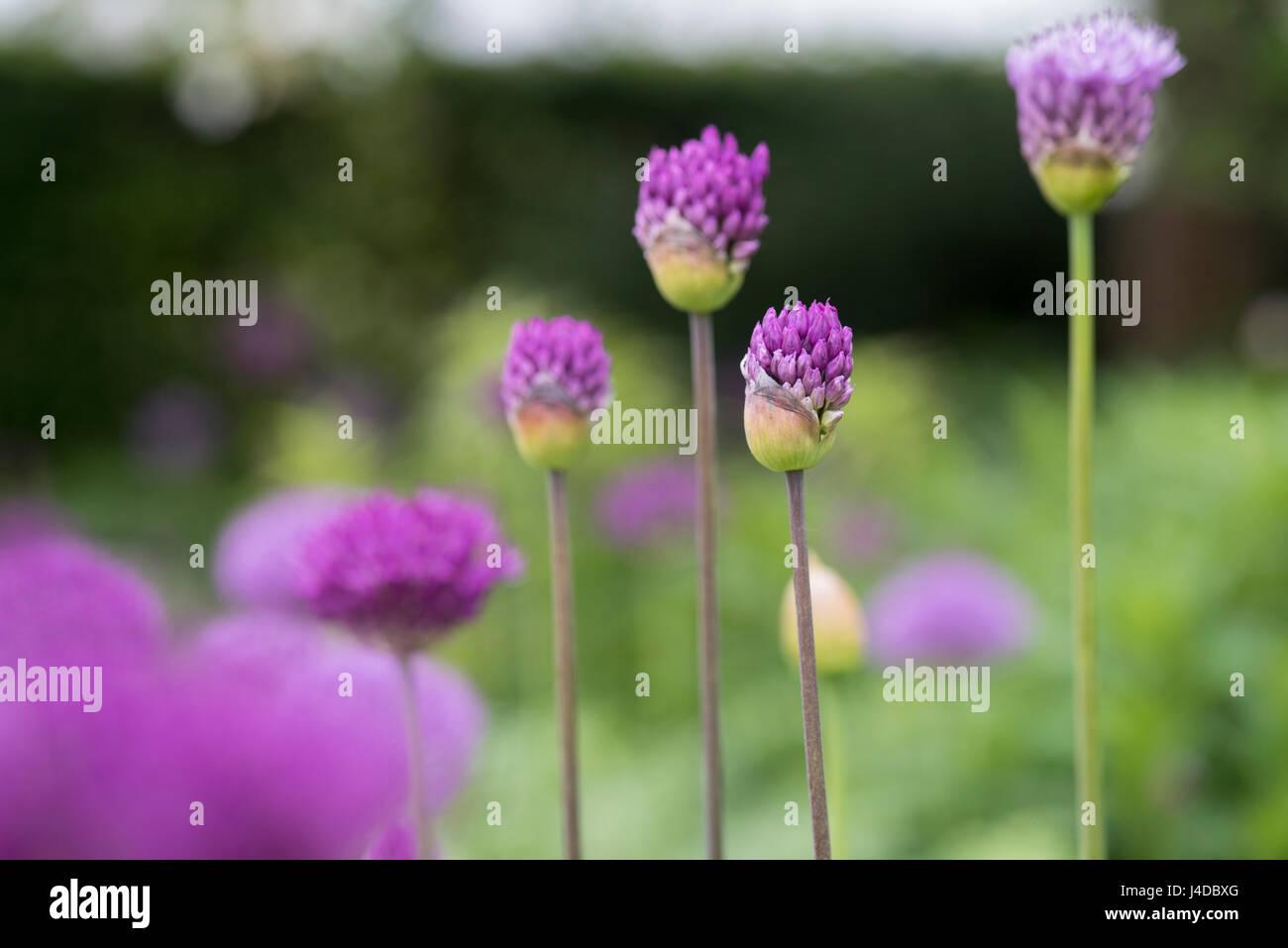 Allium purple sensation flowers opening in an English garden - Stock Image