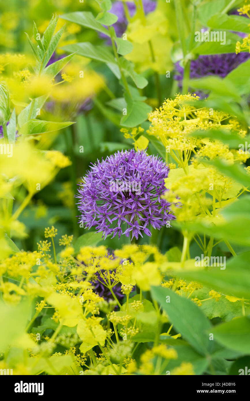 Allium purple sensation flowers in an English garden - Stock Image