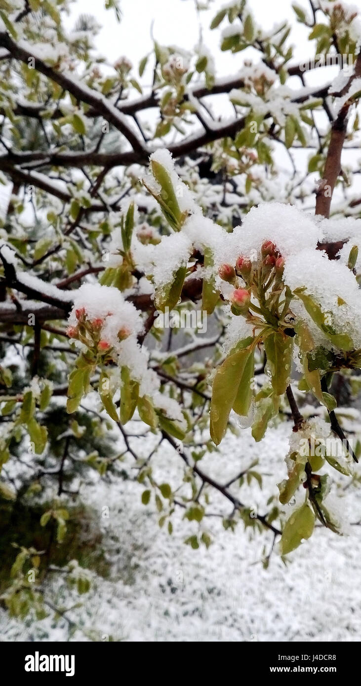 May 10, 2017 unexpectedly snowed.  Russia, Moscow region, Mozhaysk.The buds and pear trees in the snow. - Stock Image