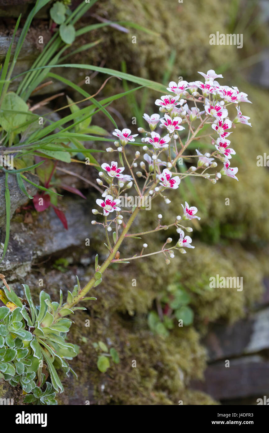 Rosette forming saxifrage, Saxifraga 'Southside Seedling', growing and flowering in the cracks of an old - Stock Image
