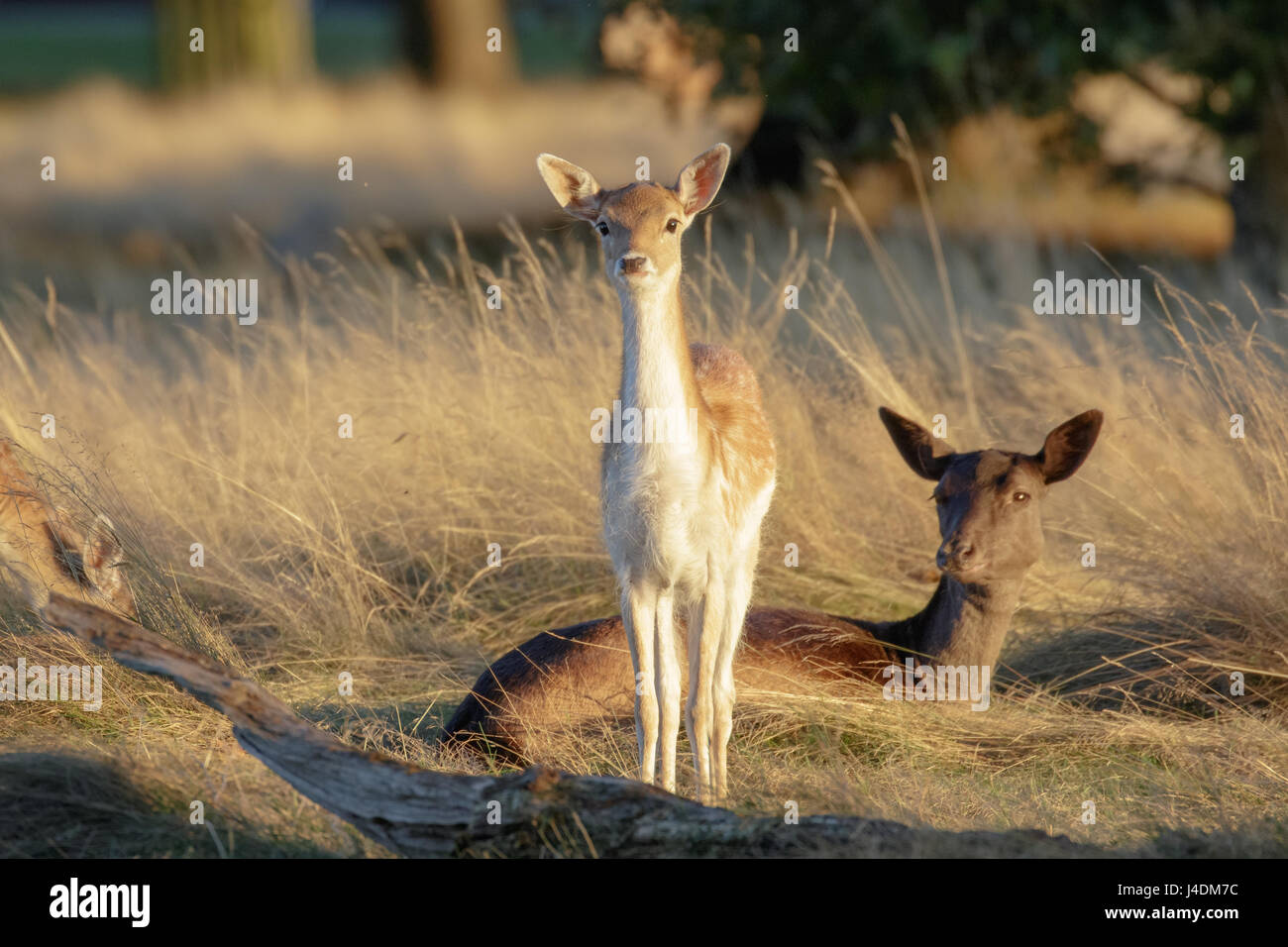 Fallow deer fawn (Dama dama) and mother female Doe behind at sunset - Stock Image