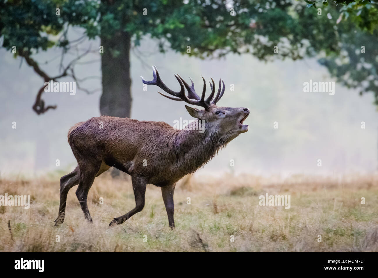 Red Deer rut (Cervus elaphus) stag running and roaring calling or bugling - Stock Image