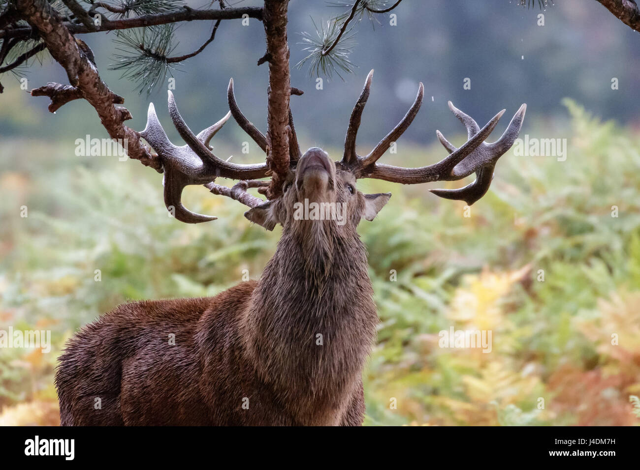 Red Deer rut stag  (Cervus elaphus) sharpening up his antlers or possibly marking territory on fir tree branches - Stock Image