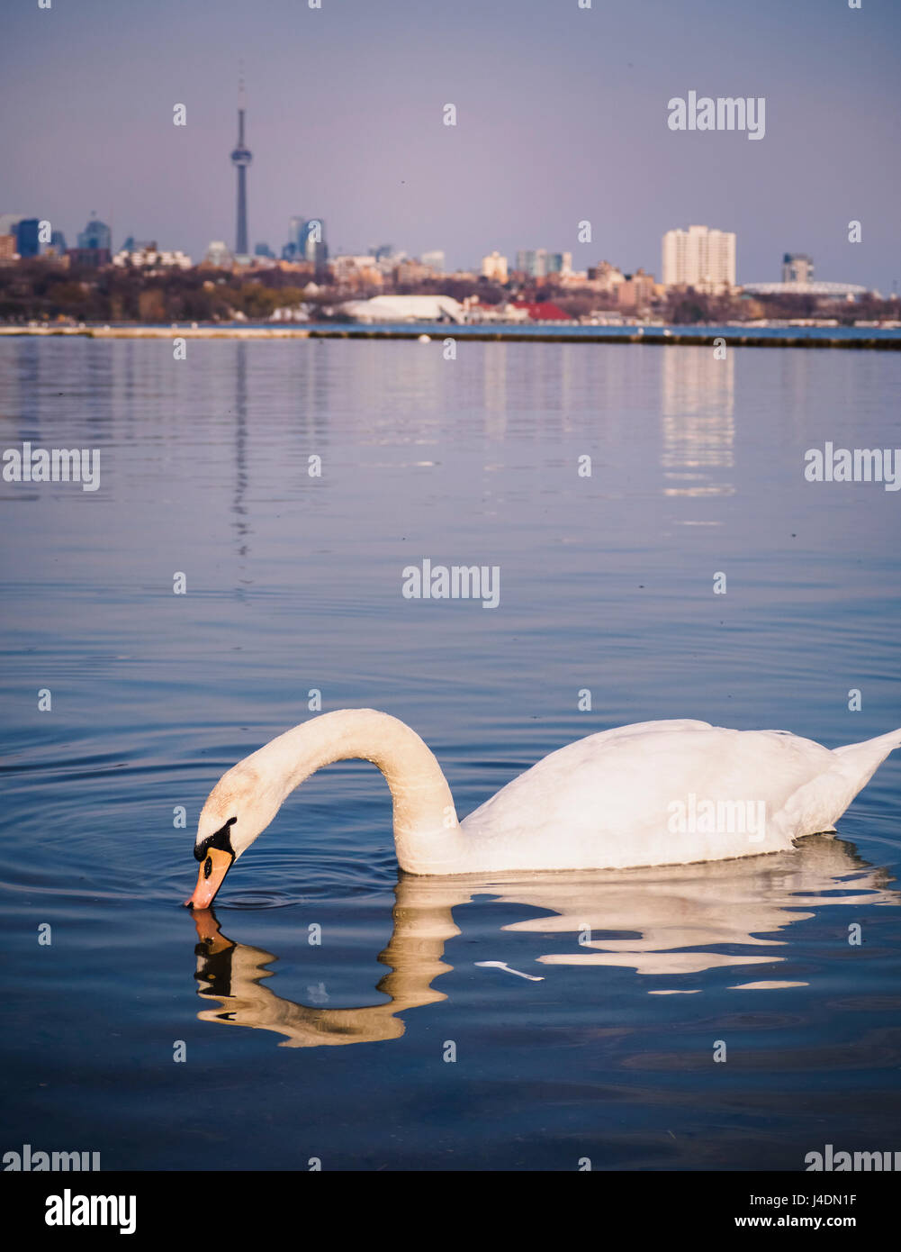 Trumpeter swan in Lake Ontario in front of Toronto Skyline. Trumpeter swan was almost extinct as the last one was - Stock Image