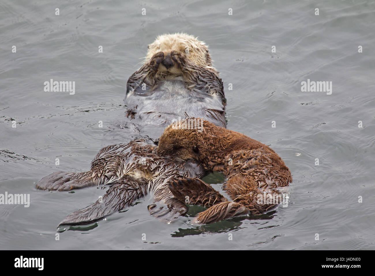 Sea Otter Pup Nursing - Stock Image