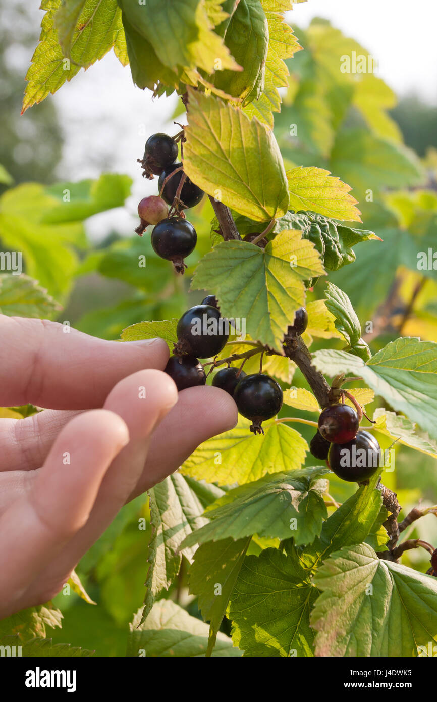 picking berries of black currant in the garden Stock Photo