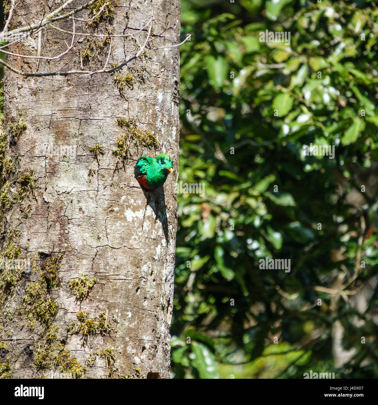 Resplendent Quetzal male in tree hole nest - Stock Image