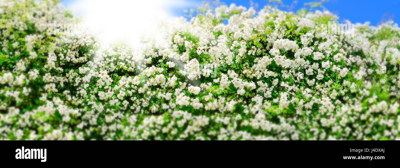 White rambler rose backlit on a sunny summer day with blue sky, panorama format, blurry border with miniature effect, - Stock Image