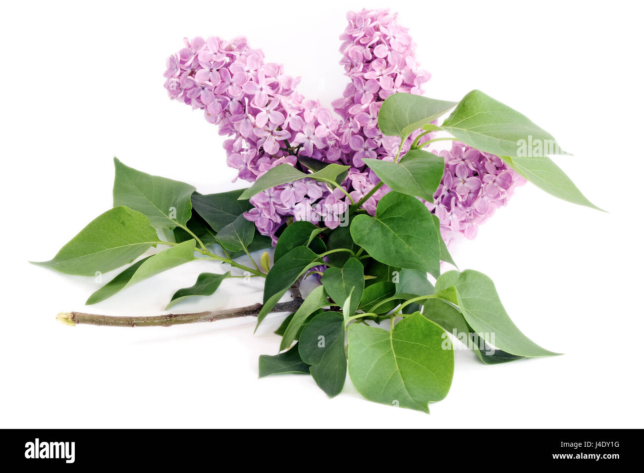 Lilac flower with green leaves against white background - Stock Image