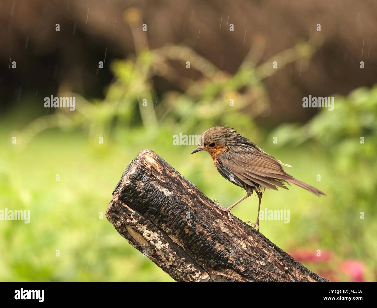 Ferring, West Sussex, UK. Friday 12th May 2017. UK Weather. Britain's favourite garden bird the Robin ventures out Stock Photo
