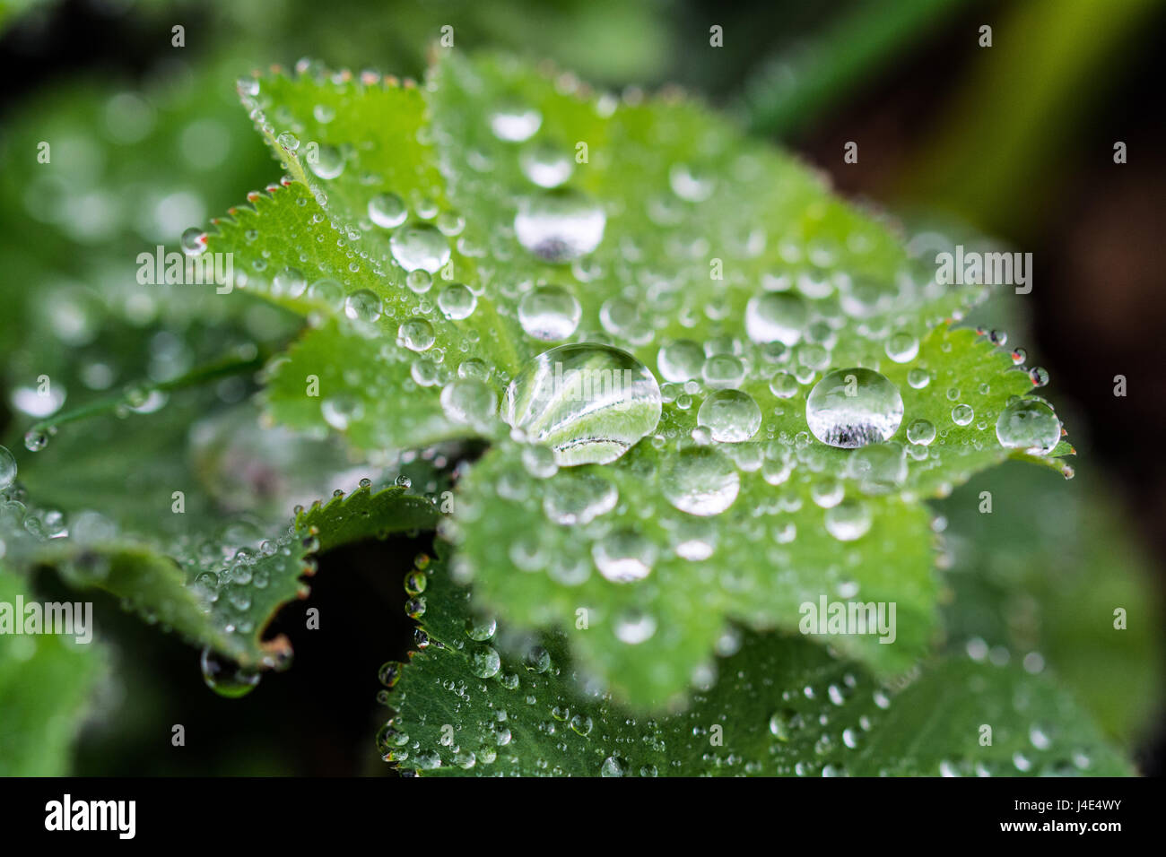 Mousehole, Cornwall, UK. 12th May 2017. UK Weather. After a prolonged dry period, rain falls on the gardens and farmers fields in Cornwall. Farmers have expressed concern over how the extremes of weather during the seasons is making it difficult for them to produce consistent yields of crops such as potatoes. Seen here droplets of rain collecting on the leaves of Alchemilla Mollis. Credit: Simon Maycock/Alamy Live News Stock Photo