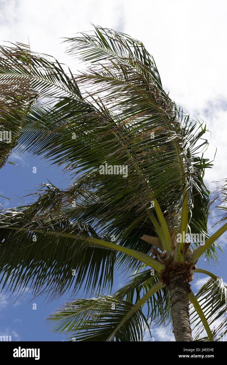 Palm Tree in Oahu Hawaii at Turtle Bay Resort - Stock Image